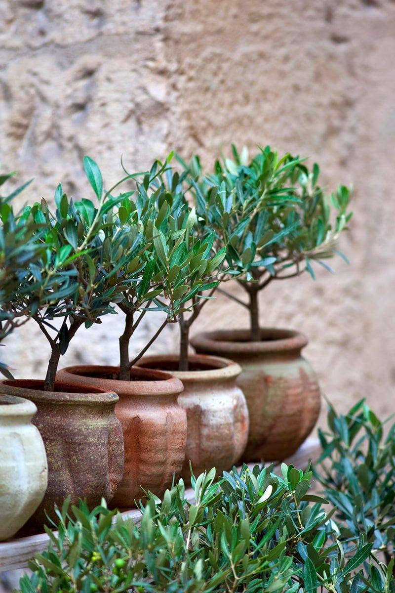 oliventre i krukker