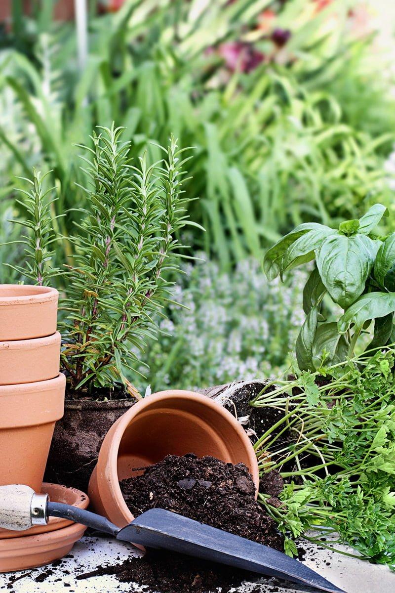 Rosmarin, plantejord i potter og hageredskap