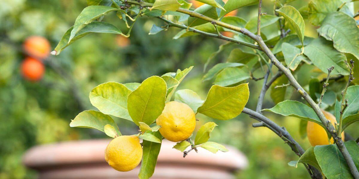 Sitrontre med hage i bakgrunn