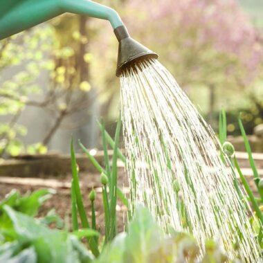 Vanning av kjøkkenhage med vannkanne