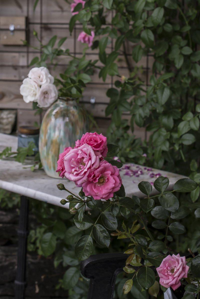 hageroser roser bella rosa klaserose