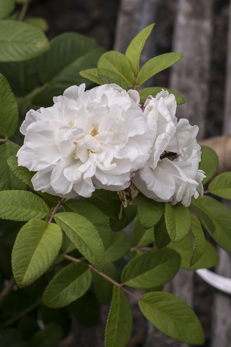 hageroser roser louis bugnet buskrose hvit