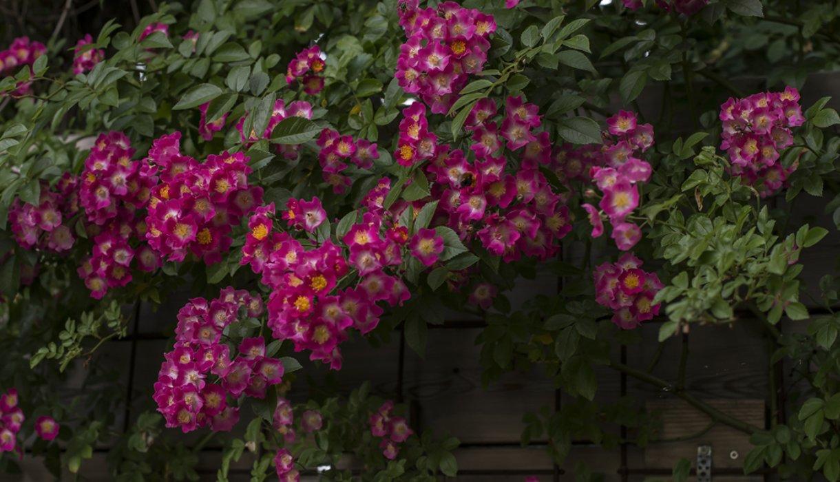 hageroser roser rosa