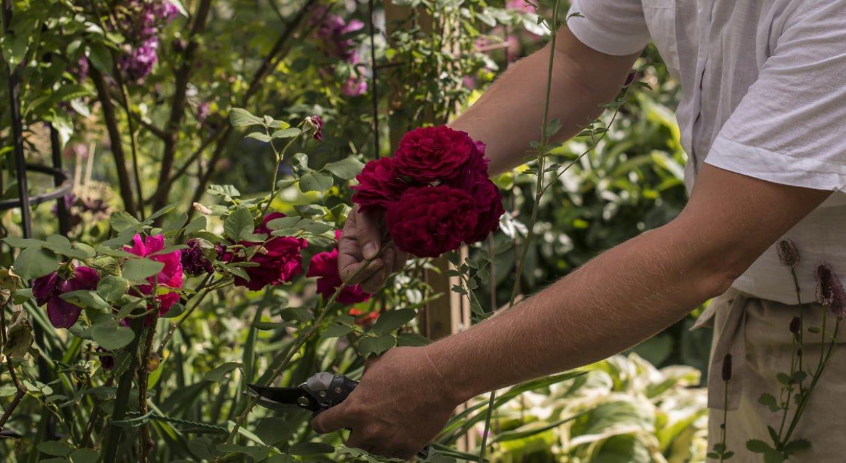 hageroser roser røde plante
