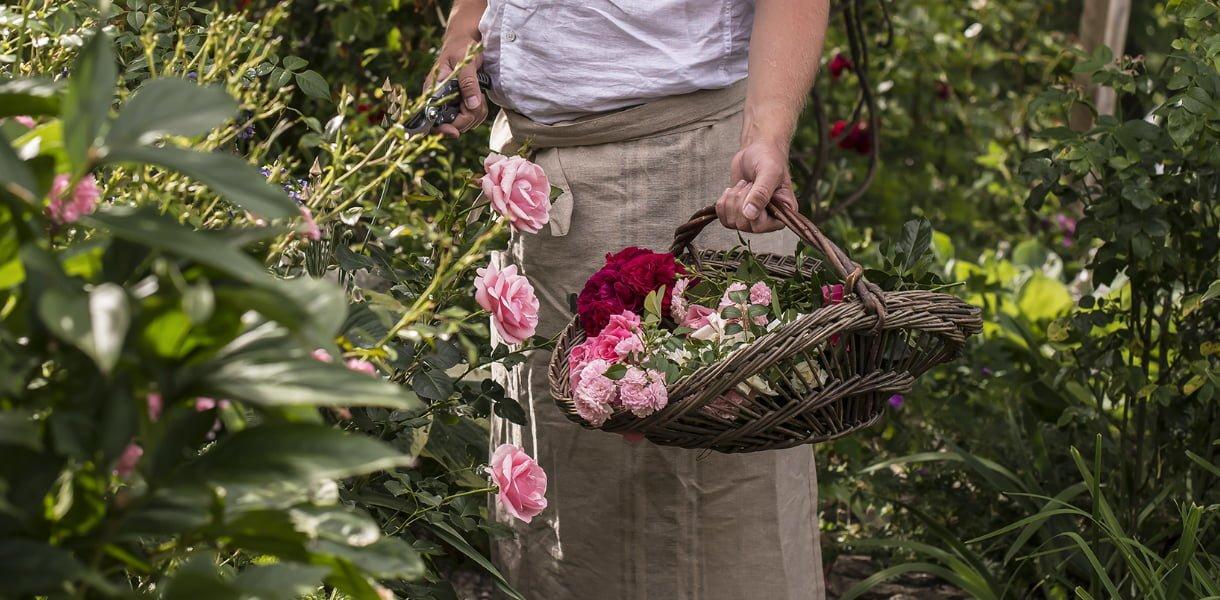 Hageroser roser røde rosa