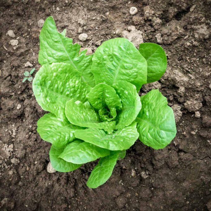 Grønn, frisk og selvdyrket hjertesalat i åker
