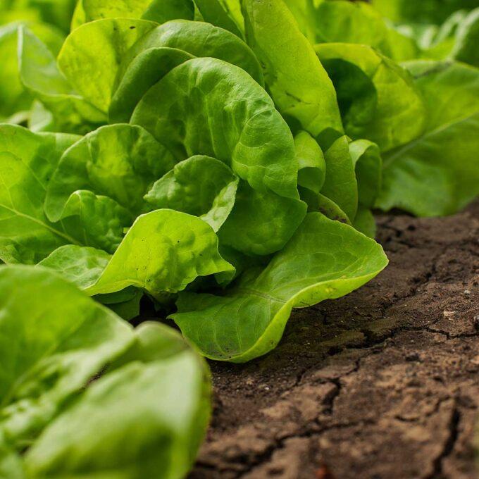 Hodesalat i grønnsaksåker