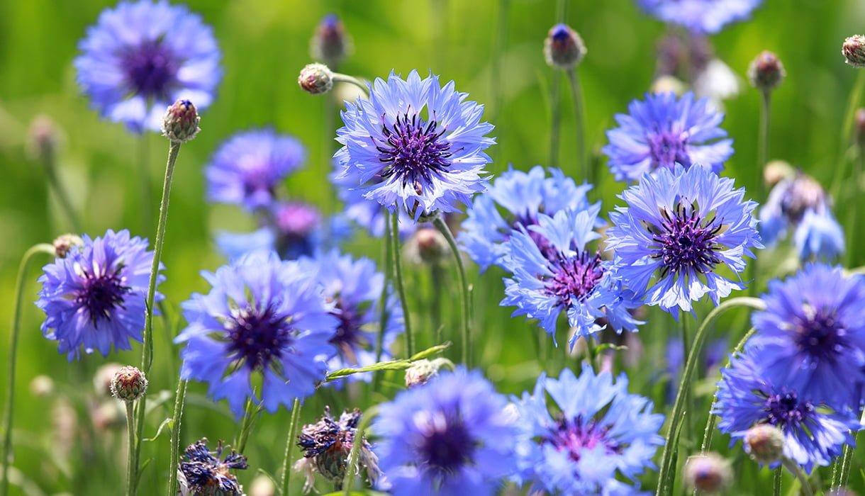 mange blå og lilla honningknoppurt blomster stauder