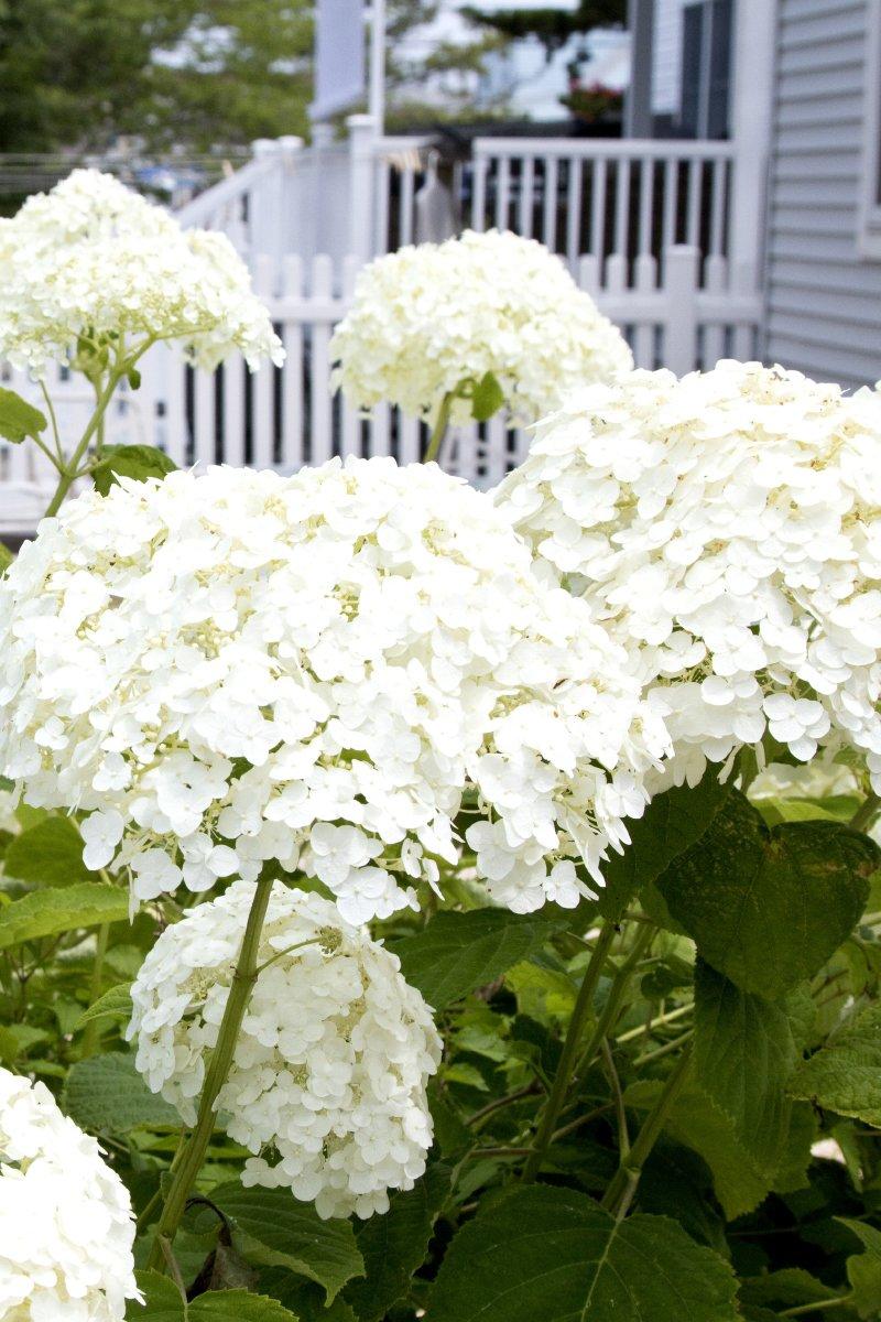Nærbilde av hvit hortensia busk