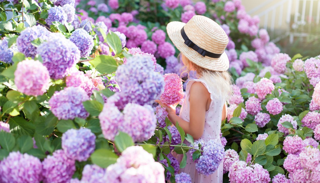 Jente med hortensia busk i hage, lilla og rosa hydrangea