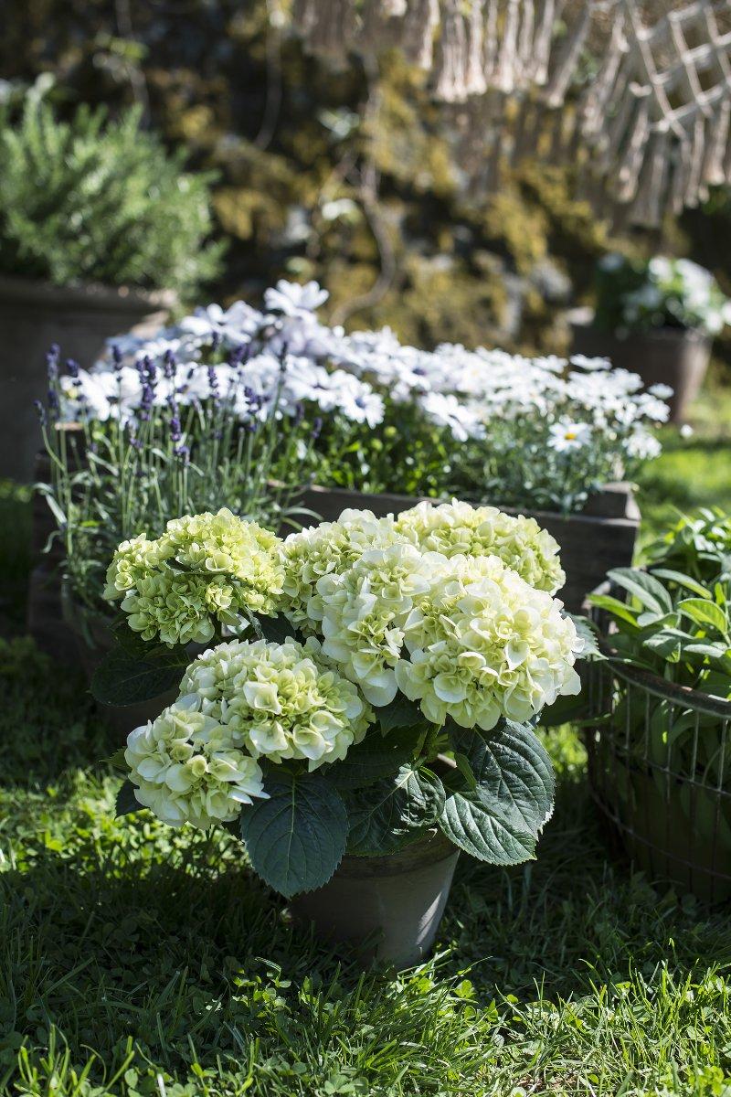 Hortensia potteplante i hagepotter med gul margeritt og lavendel i bakkant