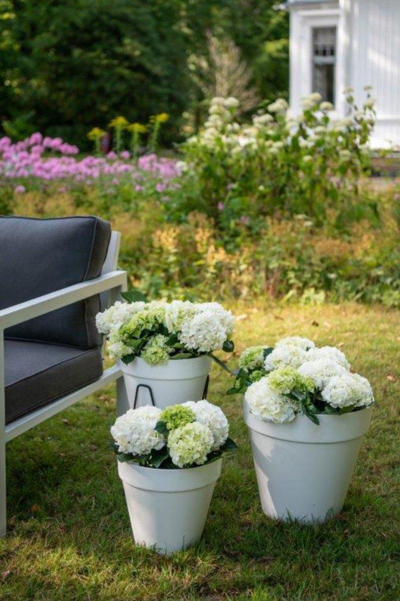 Hvit hortensia i store utepotter i en vakker hageomgivelse