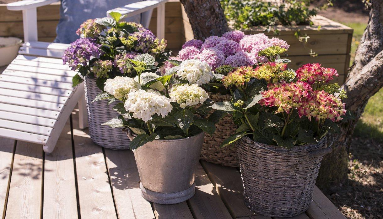 Hagestol med rosa, lilla og hvit hortensia i utepotter på terrasse