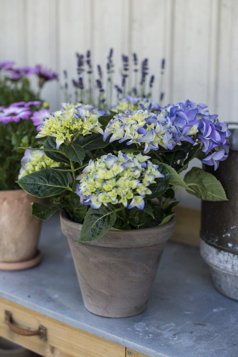 Lilla og gul hortensia i potte med lilla lavendel og margeritt i bakkant