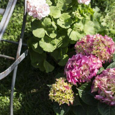 Rosa hortensia i potter i hage ved siden av hagestol