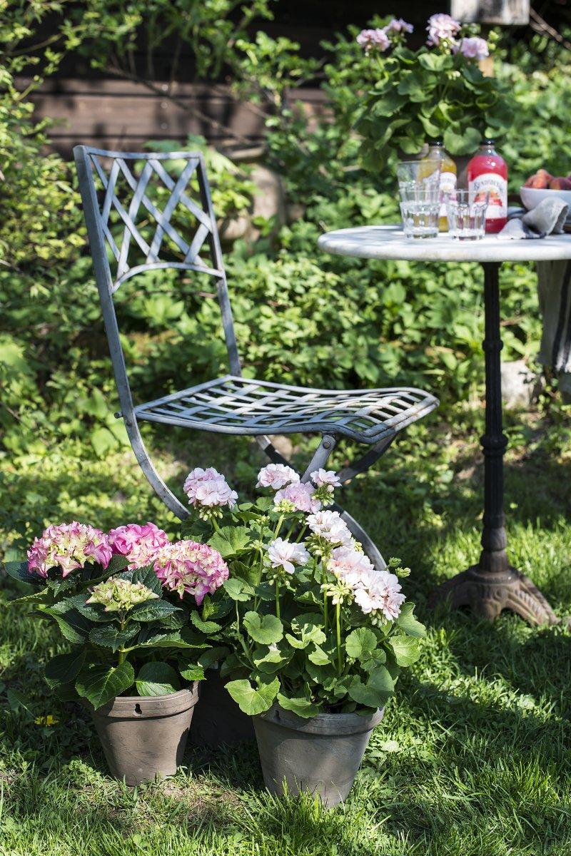 Hortensia potteplante i hagepotter med pelargonia i potte på hagebord ved siden av hagestol