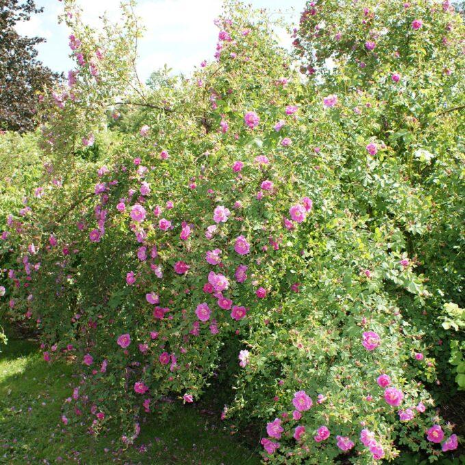 busk med rosa Hurdalsroser