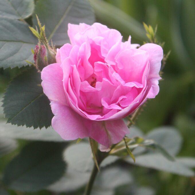 rosa Hurdalsrose