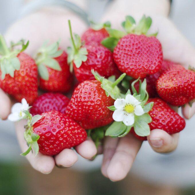 Håndfull Zephyr jordbær med jordbærblomst som pynt