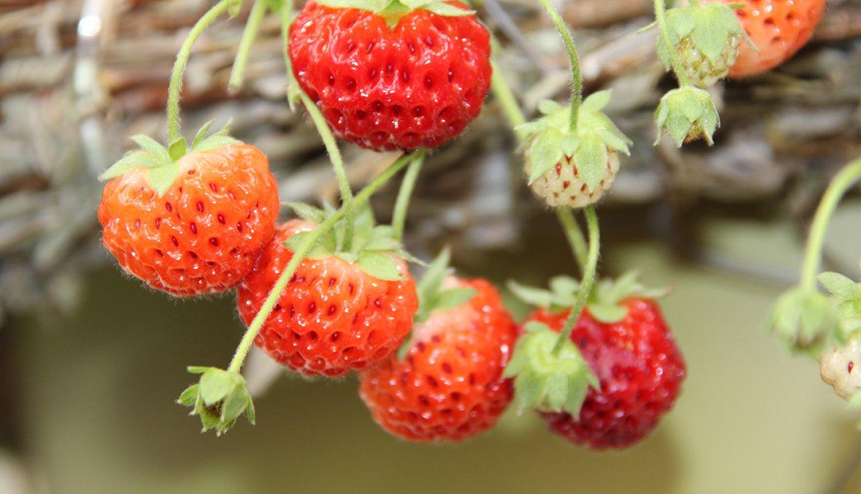 nærbilde av hengende jordbær i ampel