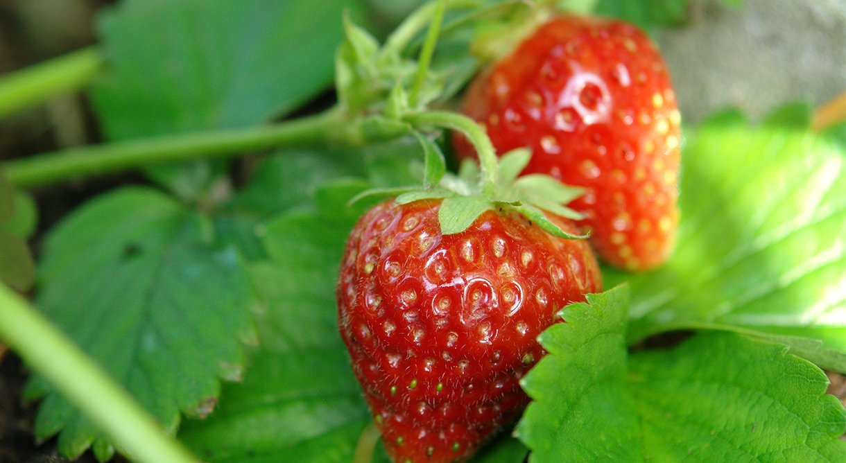 nærbilde av to modne jordbær