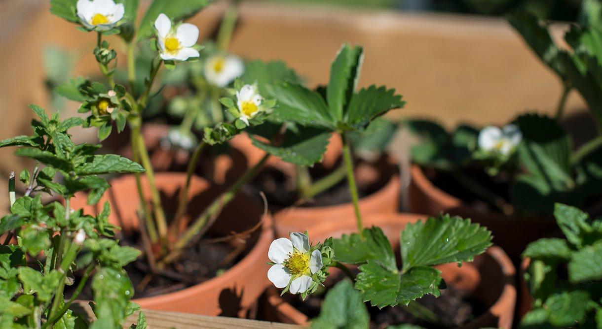 jordbærplanter med blomster i leirkrukker fylt med jord
