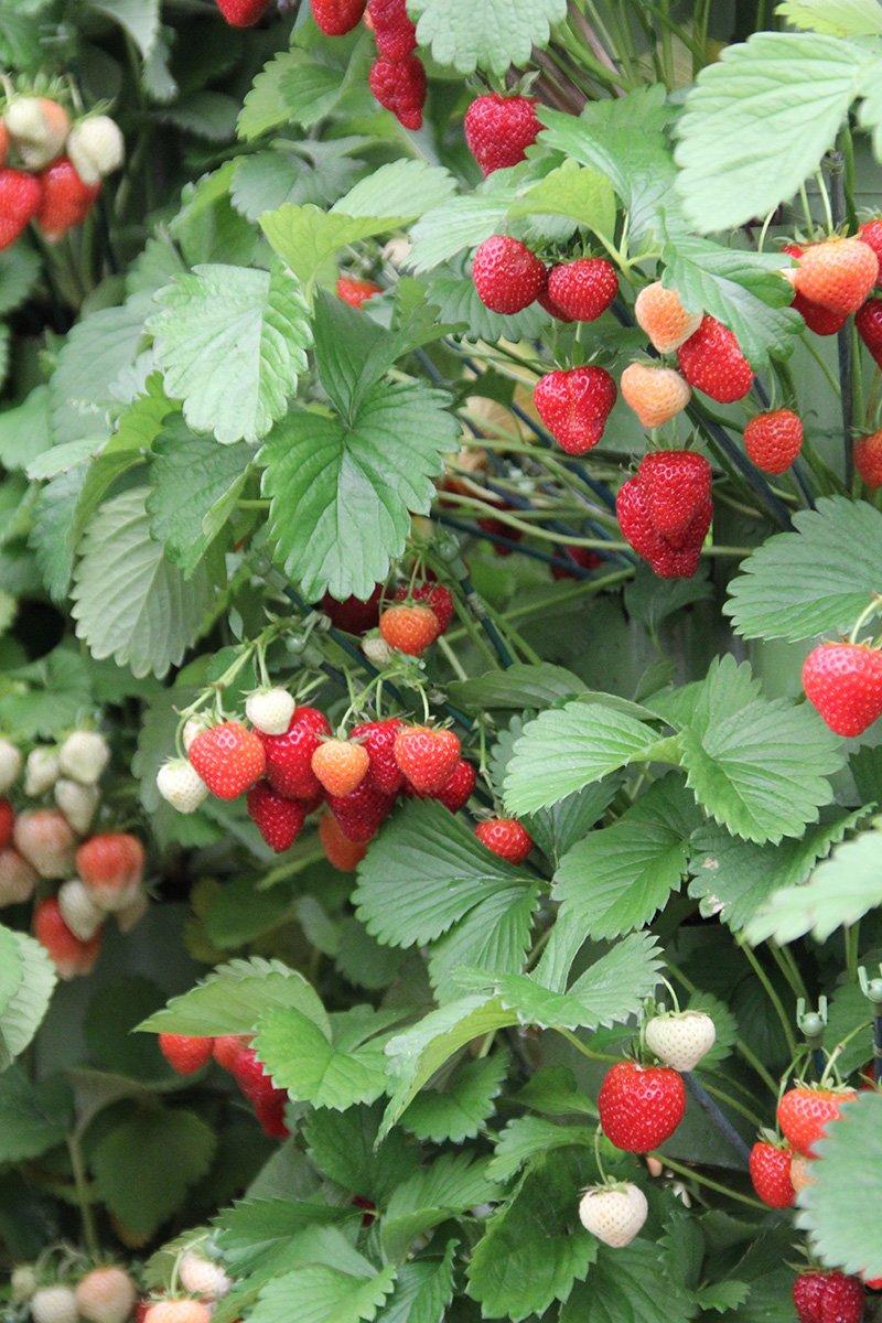 jordbærbusk med mye jordbær