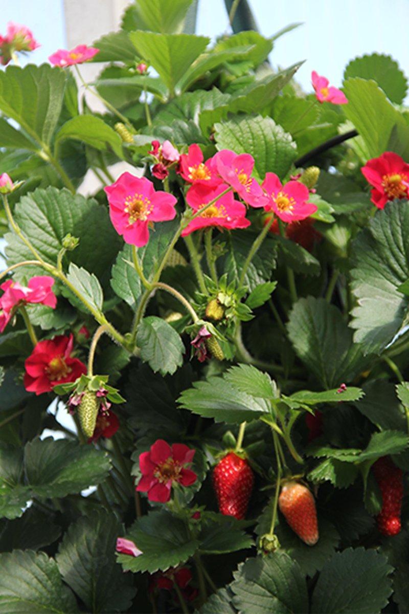 jordbærplante med rosa blomster