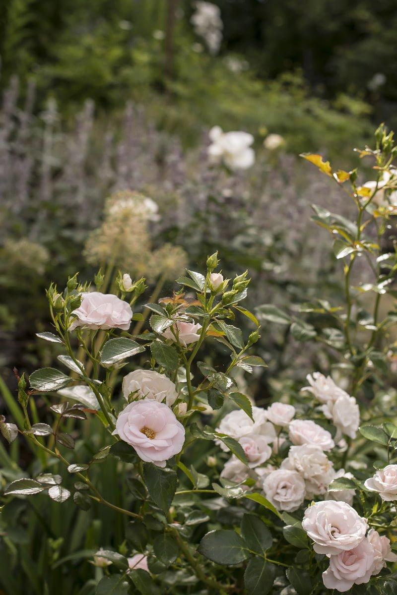 Hagerose - rosa