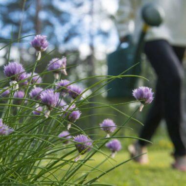 Plen, blomster og dame som holder vannkanne