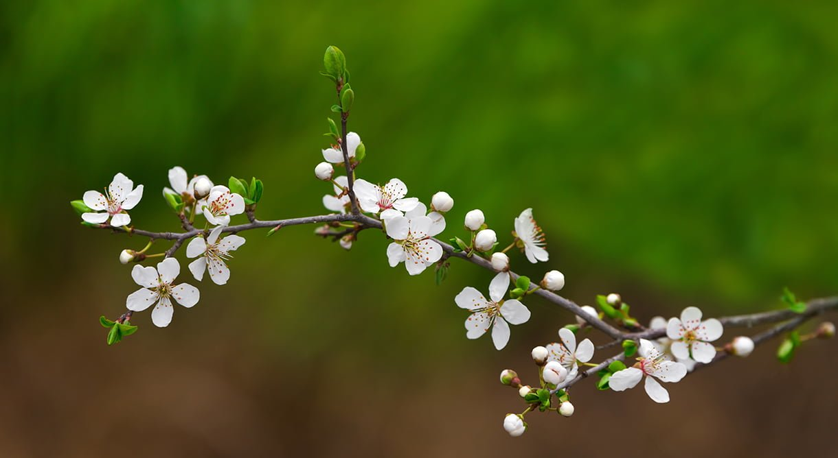 gren av kirsebærtre med hvite blomster