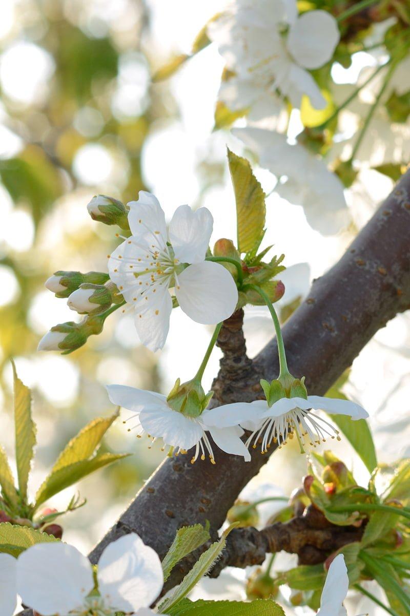 nærbilde av kirsebærtre med hvite blomster