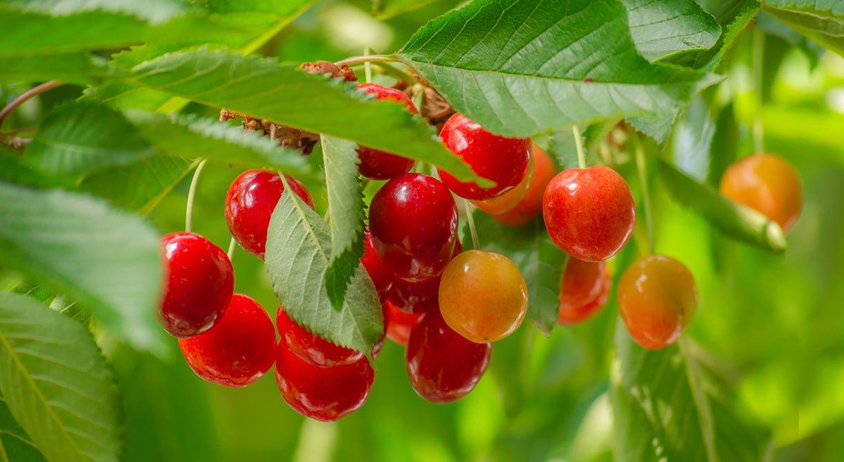 gule og røde moreller på gren