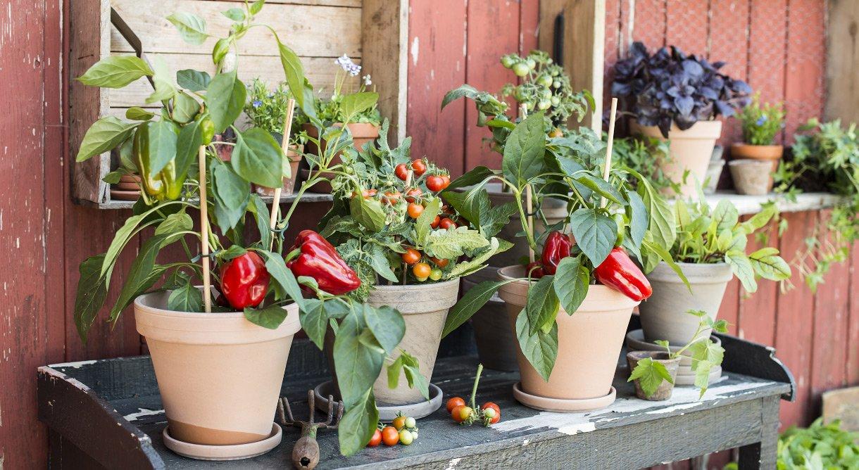 Keramikkpotter med paprika- og småtomatplanter på trebord