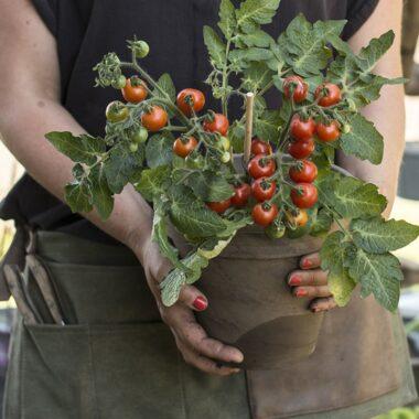 Dame holder potte med tomatplante med småtomater