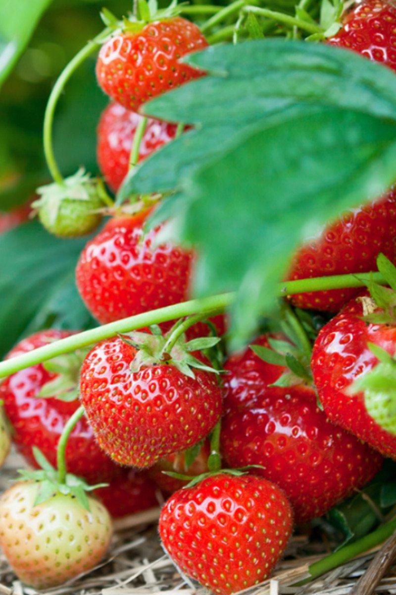 Nærbilde av flere modne og umodne jordbær på jordbærplante
