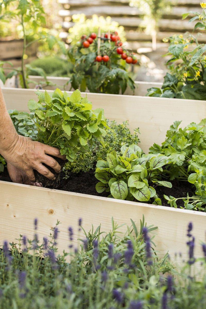 Planting av krydderurter i pallekarm med tomatplanter i bakgrunn