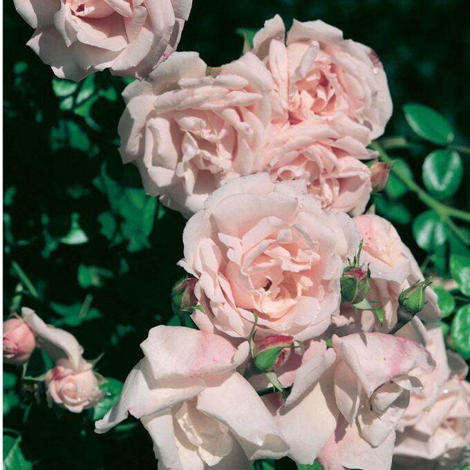 klatrerose New Dawn i lys rosa farge