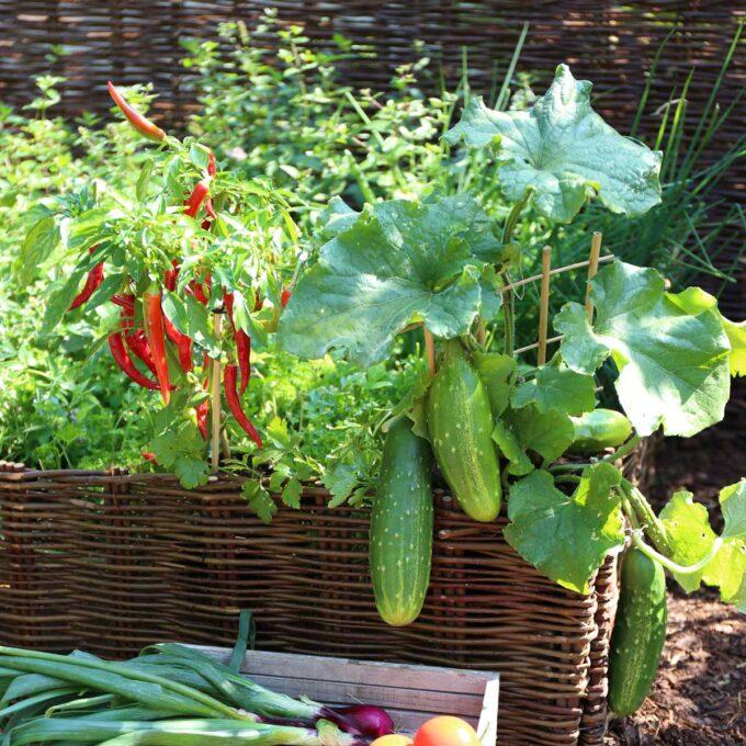 Selvdyrket knaskeagurk og andre grønnsaksplanter