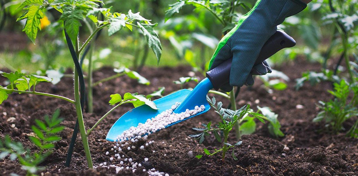 spade med kunstgjødsel sprer gjødsel på jorda rundt unge planter