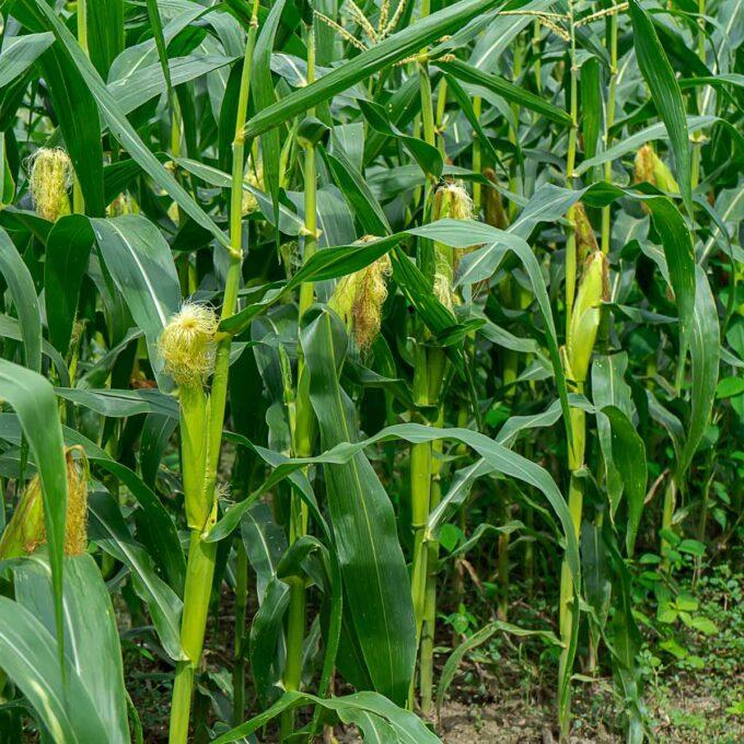Maisplanter på rad og rekke i maisåker