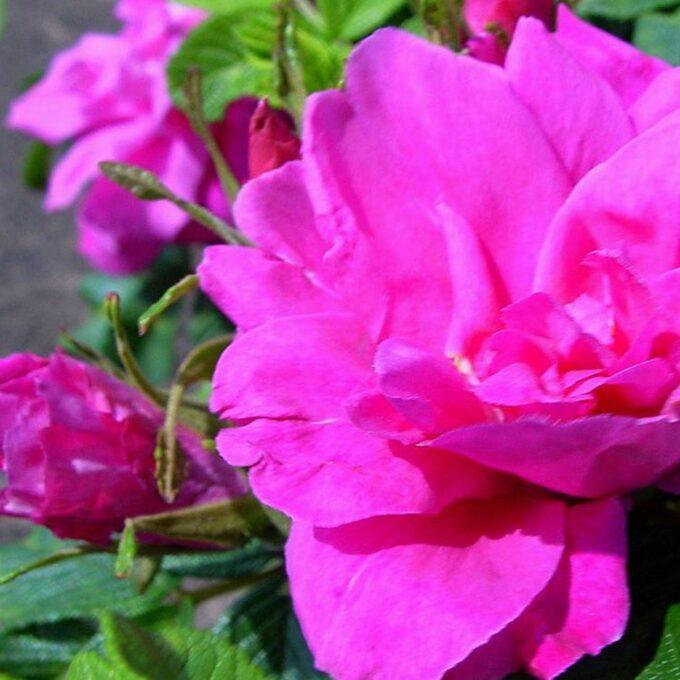 Rosa buskrose Moje Hammarberg