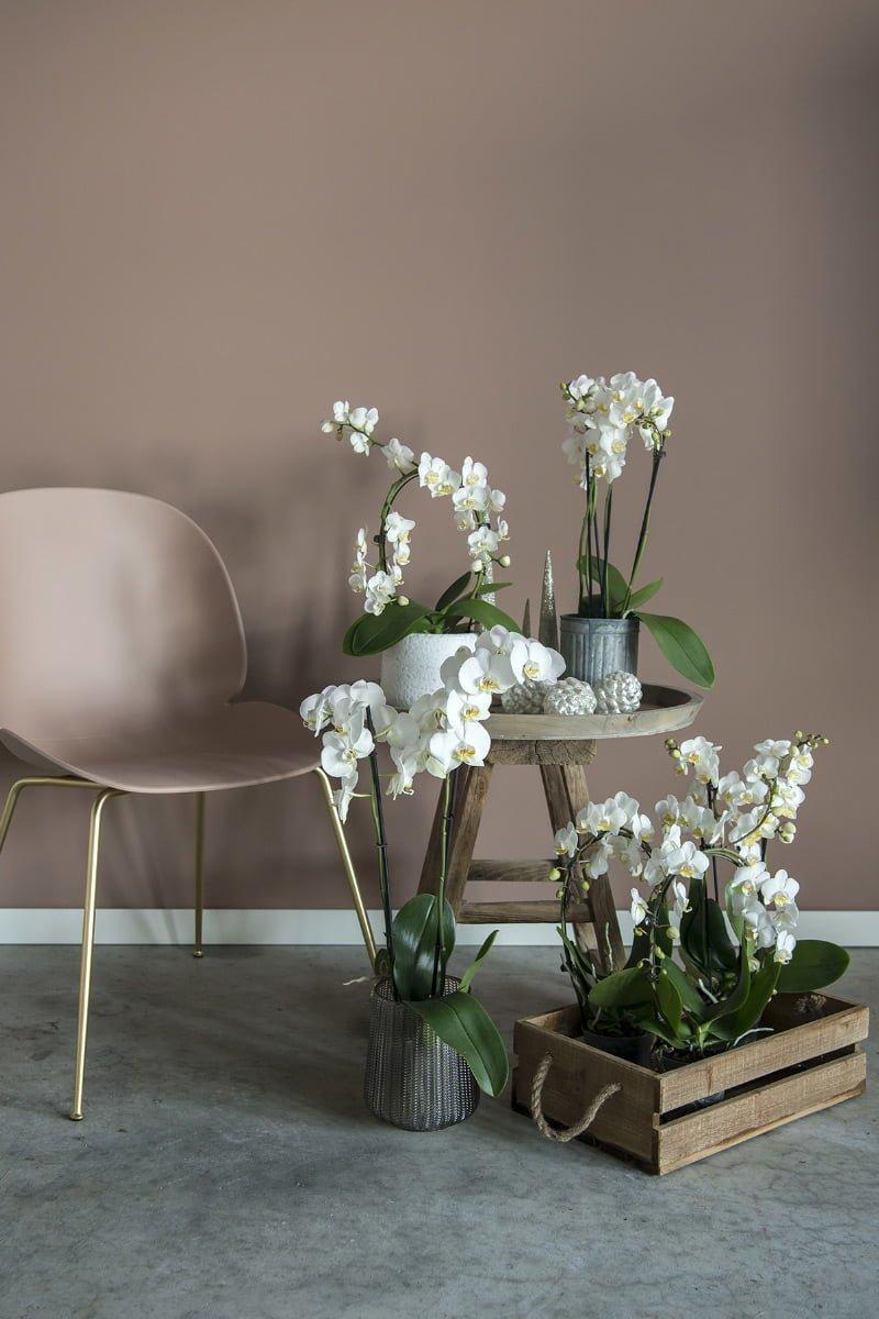 Orkidé med hvite blomster i potter på bordet og i pallekarm