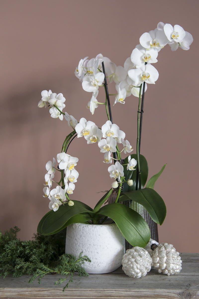 Orkidé med hvite blomster i hvit potte