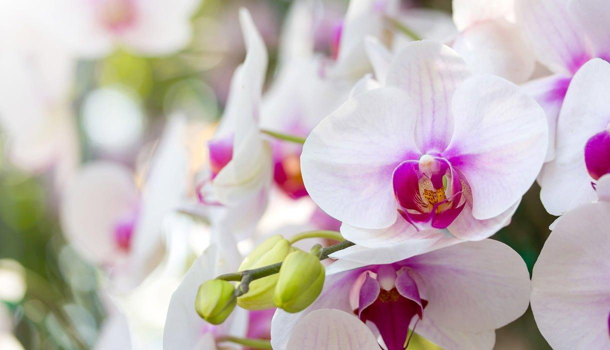 Nærbilde av rosa og hvit orkide med knupper