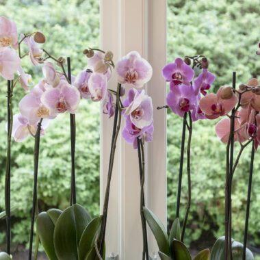 Orkideer sortert etter farge fra hvitt til mørk rødfiolett står på rad og rekke i vinduskarm