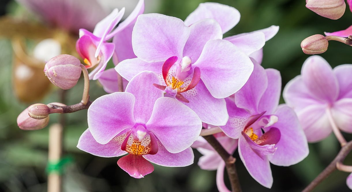 Nærbilde av blomstene til den rosa orkideen Phalaenopsis