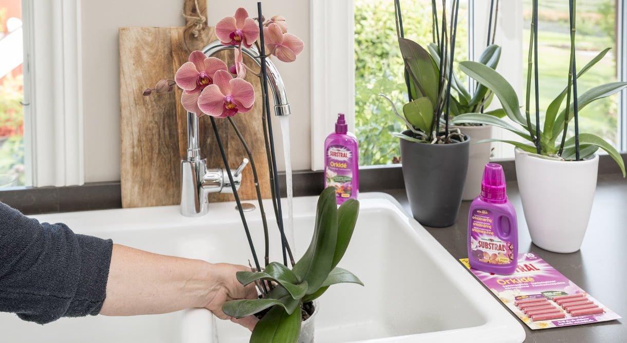 Rosa Phalaenopsis-orkide vannes i vasken
