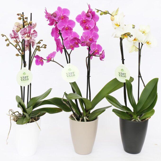 tre høye orkidépotter sort hvit brun, med orkideblomster i