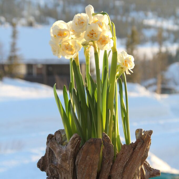 Påskelilje Bridal Crown narciss med snø i bakgrunnen